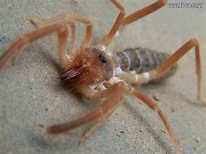 Camel Spider Bite – How Does a Camel Spider Look Like? URL ...