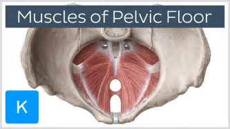 video muscles of the pelvic floor kenhub