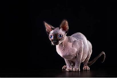 Sphynx Cat Background Wallpapers Cats Kittens Desktop