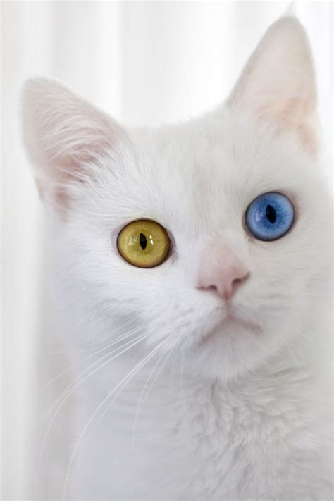 cat eyes different cats colored colors animals heterochromia eye health eyed tips occasionally animal met ever born change kitten pet