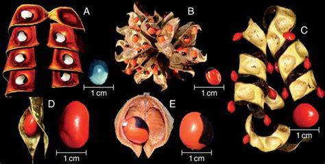 Pods And Mimetic Seeds Of Abarema Langsdorffii (a), Abrus