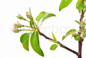 Branch Apple Tree With Spring Buds