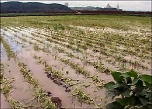 Flood-tolerant crop breakthrough - ScienceAGoGo