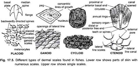 scales  fishes  diagram vertebrates chordata
