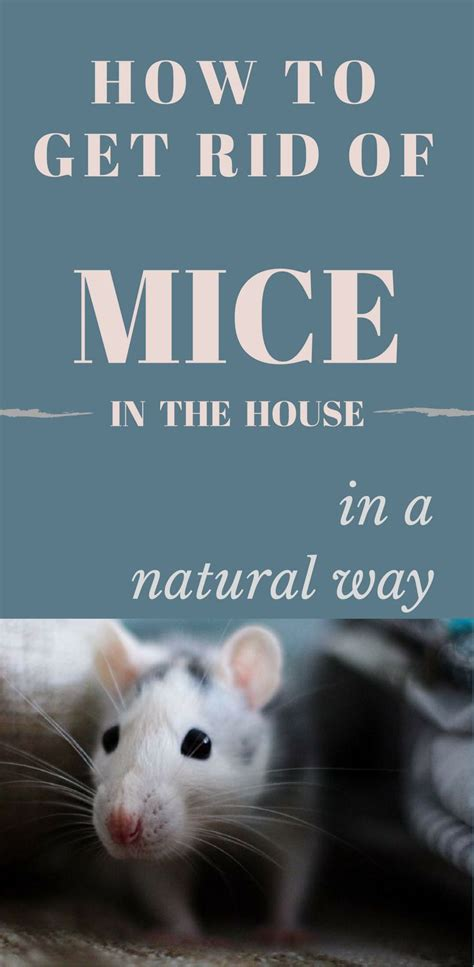 how to get rid of mice in house 1000 best cleaning tips 101 images on how to
