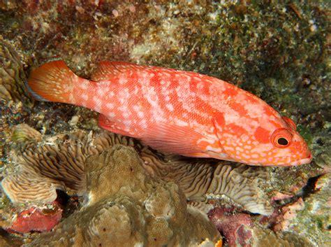 grouper strawberry palau cephalopholis reefs tropical pacific location reefguide hind