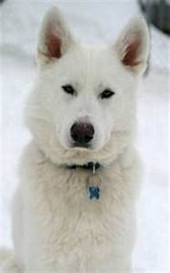 Siberian-Husky-German-Shepherd-Mix-Puppies-Cute-Photos.jpg ...