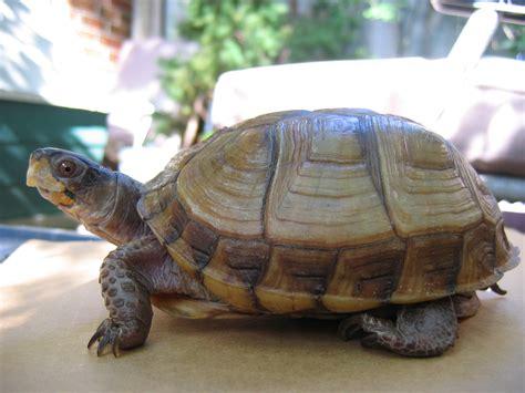 box turtle file three toed box turtle jpg wikipedia