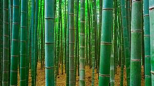 Bamboo Zozeen