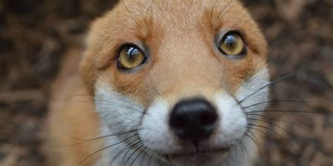 ridiculously photogenic fox    friendly  leave