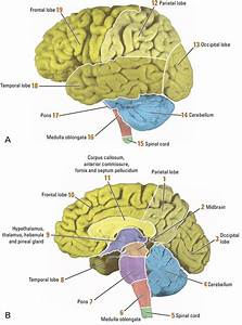3  The Main Divisions Of The Brain And Lobes Of The