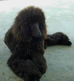 Brown Phantom Standard Poodle