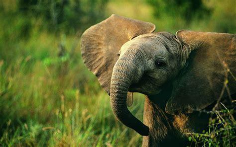 Baby Elephant Hd Desktop Wallpapers 4k Hd
