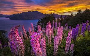 Pink Flowers Lupins Lake Mountains Sunset Red Sky