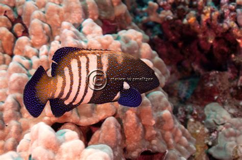 peacock grouper maui hawaii fish argus cephalopholis scuba diving hawaiian