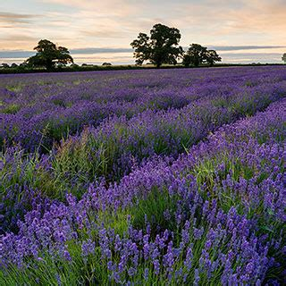 parks lavender seed collection  park seed