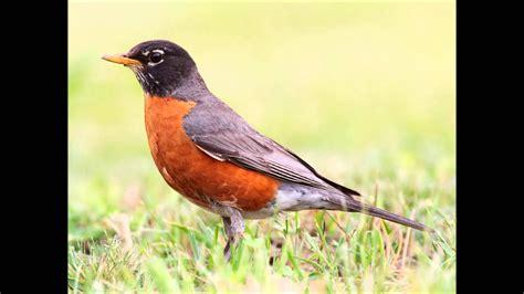 robin bird sound call song funnydogtv