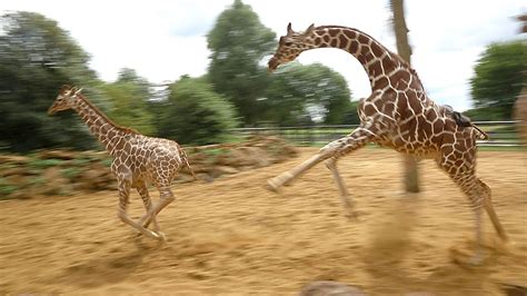 Giraffes Walk, Gallop And Play At Zsl Whipsnade Zoo