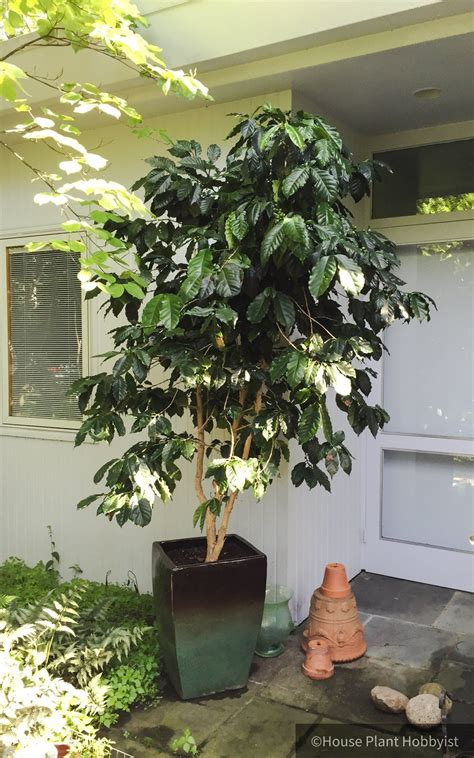 Without necessarily always worrying about profit. Coffee Tree Care | Coffee tree, Tree care, Plants