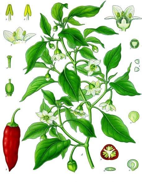 piment en espagnol capsicum annuum la enciclopedia libre