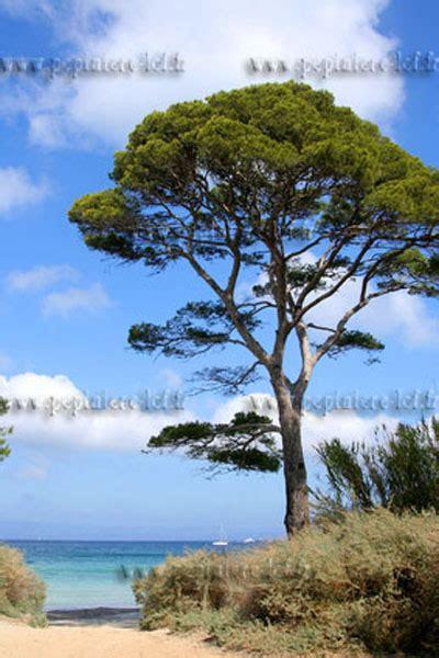 pin parasol pinus pinea discount ppinire lcf