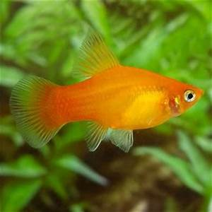 $3 = Neon Sunburst Hifin Moon Males will have a tubular