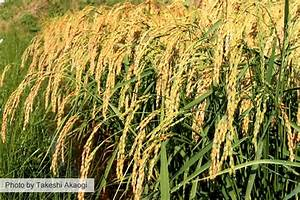 Ecological Rice Farming In The Northeastern Usa