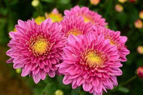 ความหมายของดอกไม้: ความหมายของดอกเบญจมาศหรือดอกมัม