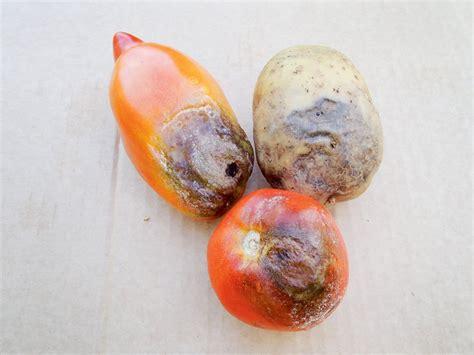 Kas veicina tomātu slimības septembrī? Atbild eksperts | Laukos.lv