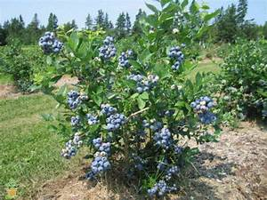 Bluecrop Blueberry Bush | Bluecrop Northern Highbush ...