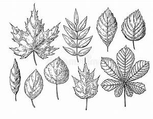 Vector Autumn Drawing Leaves Set. Objects. Hand Drawn D ...
