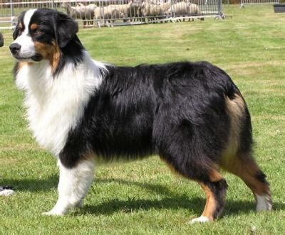 tri colored australian shepherd tri color australian shepherd would be a addition to