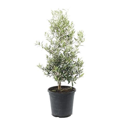 olivier en pot prix taille olivier en pot 28 images prix olivier pot 17 beste idee 235 n olivier en pot op