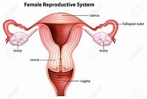 Female Reproductive System Chart With Labels Reproductive ...