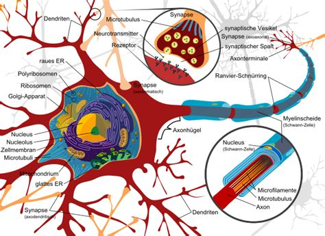 File Complete Neuron Cell Diagram Svg Wikimedia Commons
