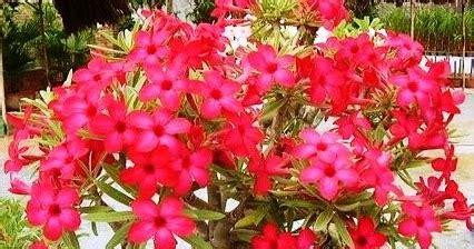 dunia tanaman hias mengenal tanaman adenium kamboja jepang
