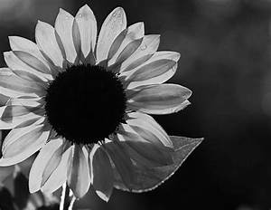 10 best images about WHITE SUNFLOWERS on Pinterest ...