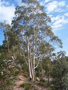 Eucalyptus Plante D Intérieur : plantes ~ Melissatoandfro.com Idées de Décoration