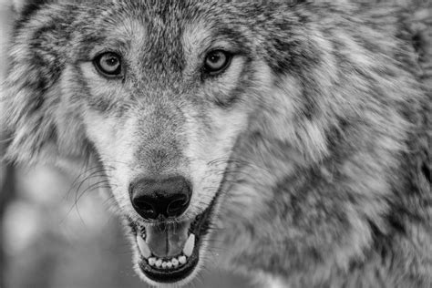 Wolf Wallpaper by Wolf 5k Retina Ultra Hd Wallpaper Background Image