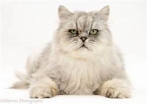 Chinchilla Persian male cat photo WP17133