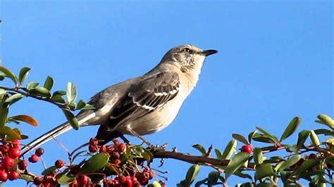 mockingbird singing youtube