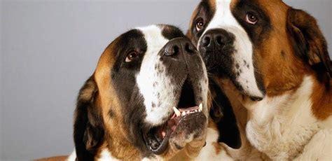 raza de perros san bernardo