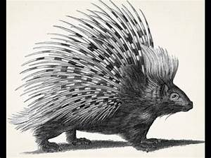 How to draw African Porcupine pencil drawing step by step ...