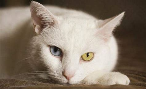 kitten eye color what is the link between a cat s eye color and auditory