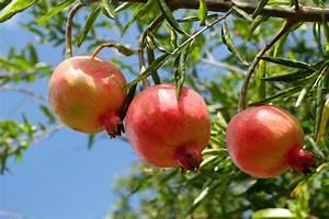Arbre A Fruit : arbres fruitiers ~ Melissatoandfro.com Idées de Décoration