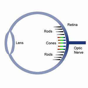 Eyes Diagram Rods Cines : human eye structure image formation and difference ~ A.2002-acura-tl-radio.info Haus und Dekorationen