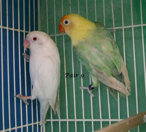fischers lovebird housing pet care temperament pictures