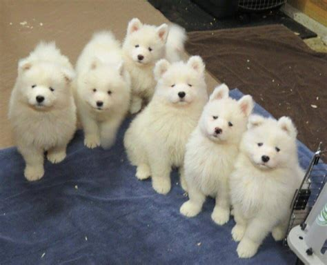 Samoyed Puppy Gang Samoyed Smiles Dogs Cute Dogs En