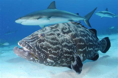 grouper caribbean reef shark tandbaars garoupa haai mero negro barsch nero della caraibico squalo scogliera zwarte schwarzer caribe tiburon ertsader