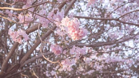 Beautiful Pink Flower Look Likes Sakura Flower Or Cherry